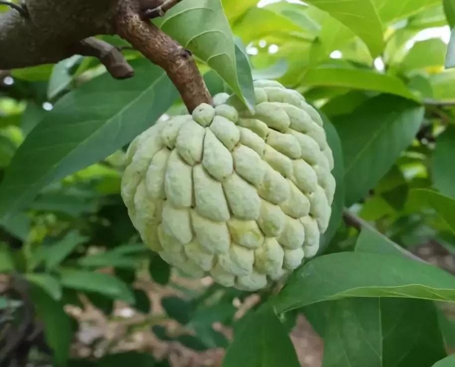 這種水果正新鮮上市,發黑后反而更甜